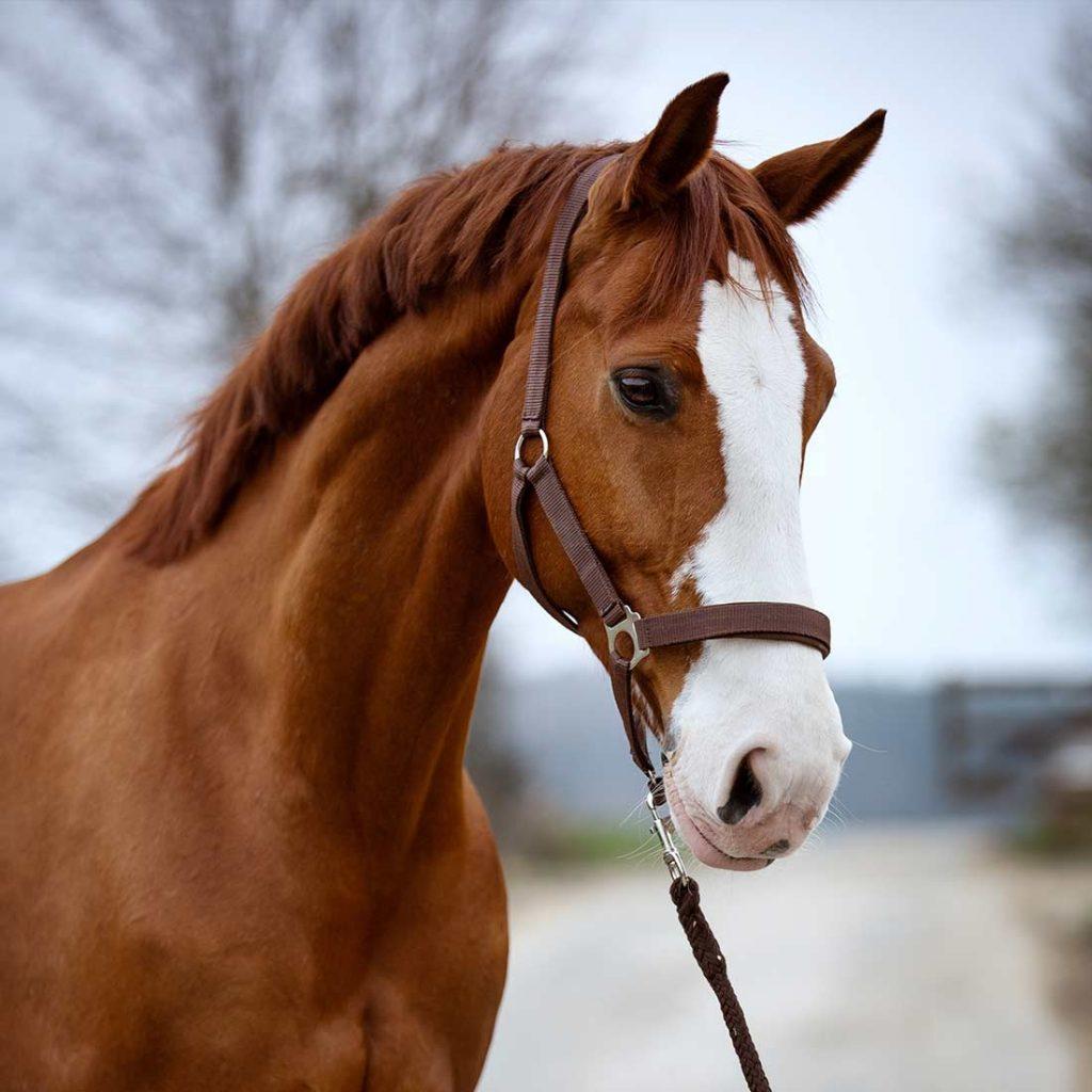 Dundee HorseEffect